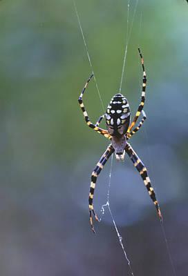 Photograph - Argiope Spider On Web by Bradford Martin