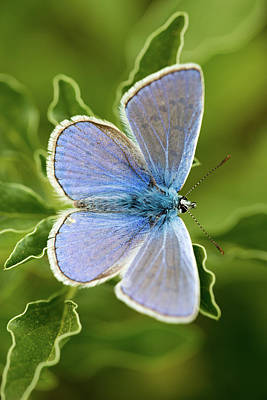 Photograph - Aricia Agestis by Ran Zisovitch