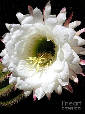 Photograph - Arizona Cactus Flower No. 5 by Merton Allen