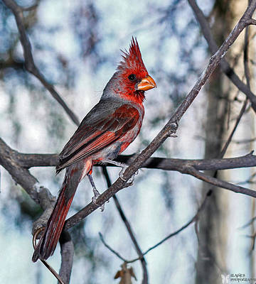 Arizona Cardinal Art Print