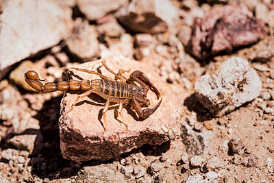Photograph - Arizona Desert Scropion by  Onyonet  Photo Studios