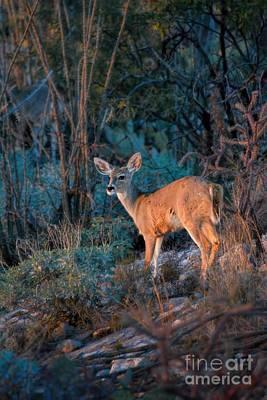 Thorn Tail Photograph - Arizona Deer Sunset by Henry Kowalski
