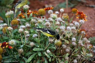 Photograph - Arizona's Goldfinch by Susan Herber