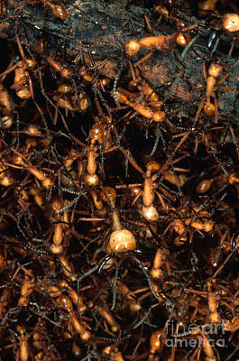 Ant Photograph - Army Ant Bivouac Site by Gregory G. Dimijian, M.D.