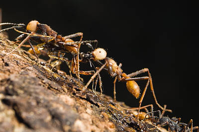 Army Ant Photograph - Army Ant Carrying Cricket La Selva by Konrad Wothe