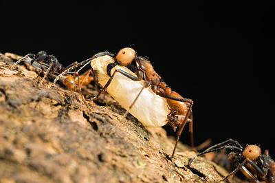 Army Ant Photograph - Army Ant Carrying Insect Pupa La Selva by Konrad Wothe