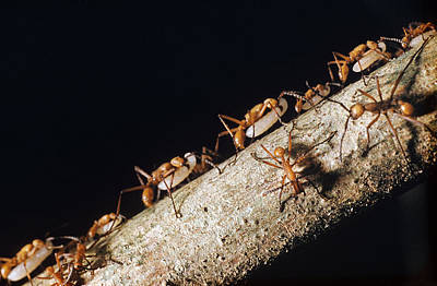 Army Ant Photograph - Army Ants Eciton Hamatum by Rudolf Freund