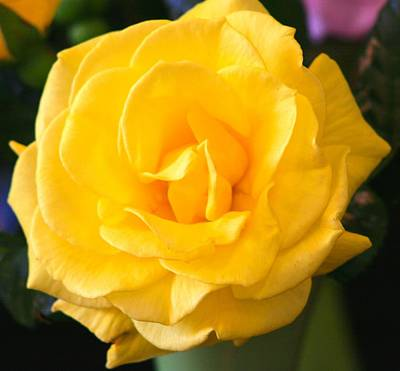 Photograph - Aroma Yellow Rose by Phoenix De Vries