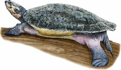 Photograph - Arrau River Turtle by Roger Hall