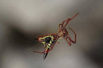 Arrow-shaped Micrathena Spider Starting A Web Art Print by Daniel Reed