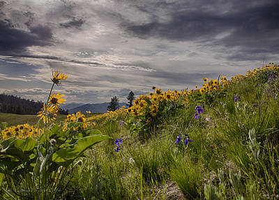 Photograph - Arrowleaf Balsamroot Blooming On The National Bison Range by Victoria Porter