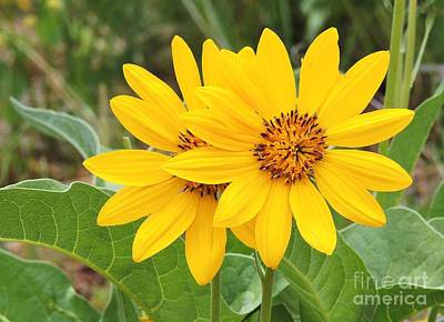 Photograph - Arrowleaf Balsamroot by Michele Penner