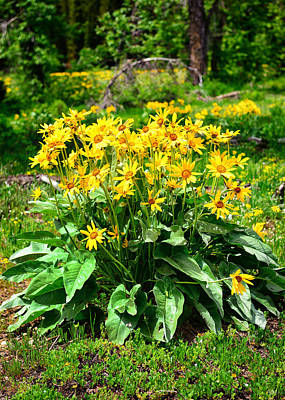 Photograph - Arrowleaf Balsamroot Wildflowers by Greg Norrell