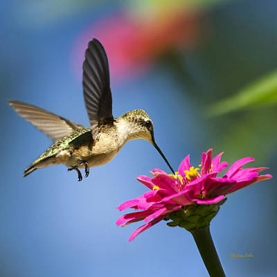 Photograph - Art Of Hummingbird Flight Square by Christina Rollo