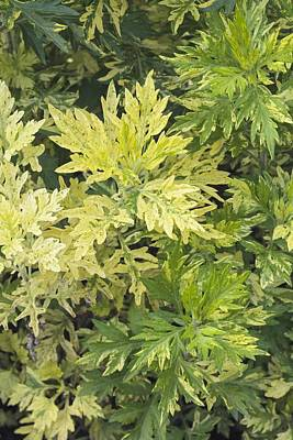 Limelight Photograph - Artemisia Vulgaris 'oriental Limelight' by Science Photo Library