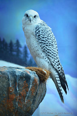 Artic Falcon Art Print by Janis Knight