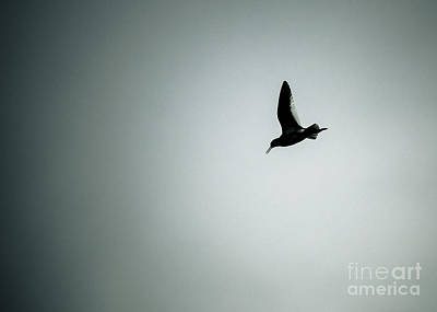 Photograph - Artic Tern In Flight Silhouette by Peta Thames