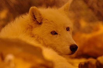 Arctic Wolf Photograph - Artic Wolf  by Jeff Swan