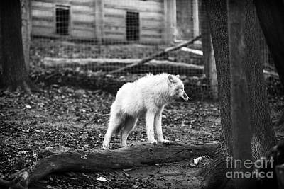 Photograph - Arctic Wolf by John Rizzuto