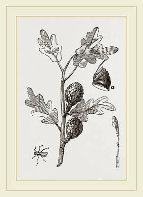 Artichoke Drawing - Artichoke-galls Of Oak by Litz Collection
