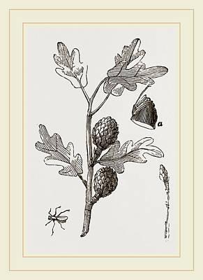 Artichoke Drawing - Artichoke-galls Of Oak by Litz Collection