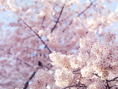 Sakura Photograph - Artistic Closeup Of Cherry Blossom by Oleksiy Maksymenko