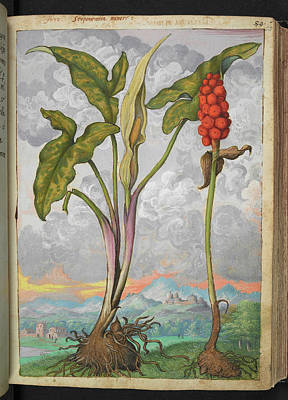 Bobbins Photograph - Arum Italicum by British Library