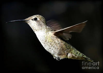 Animals Royalty-Free and Rights-Managed Images - As Free As a Hummingbird by Carol Groenen