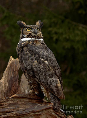 As Nighttime Falls Great Horned Owl Looking To The Sky Art Print by Inspired Nature Photography Fine Art Photography