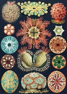 Ascidiae Sea Squirts Art Print by Library Of Congress