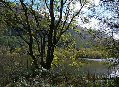 Photograph - Ash Tree - Thirlmere by Phil Banks