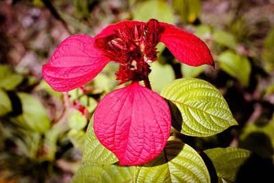 Photograph - Ashanti Blood Singapore Flower by Donald Chen