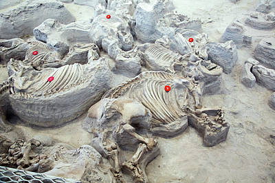 Rhinoceros Photograph - Ashfall Fossil Beds Fossils by Jim West
