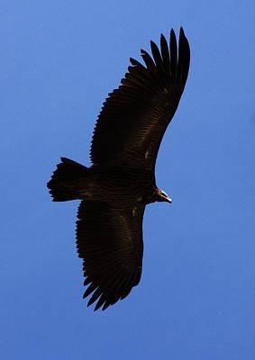 Asian Black Eagle - Nepal Art Print by Aidan Moran