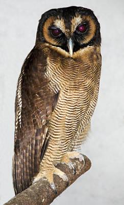 Asian Brown Wood Owl Art Print