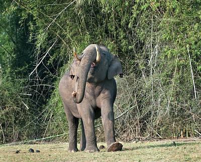 Asian Bull Elephant Displaying Art Print