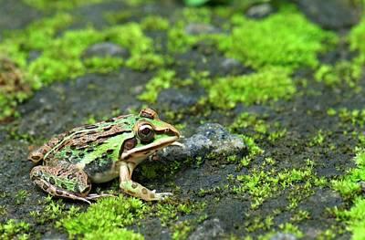 Bullfrogs Photograph - Asian Bullfrog by K Jayaram