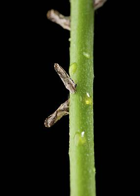 Asian Citrus Psyllids On A Citrus Stem Art Print by Peggy Greb/us Department Of Agriculture