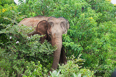 Photograph - Asian Elephant  Elephas Maximus by Liz Leyden