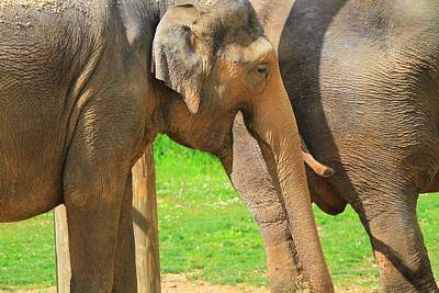 Photograph - Asian Elephants by Dan Sproul