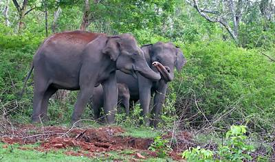 Bonding Photograph - Asian Elephants With Calf by K Jayaram