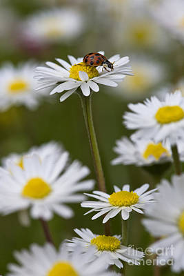 Photograph - Asian Lady Beetle On A Daisy by Jean-Louis Klein and Marie-Luce Hubert