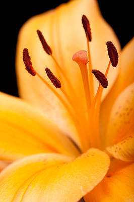 Photograph - Asian Lily by Sebastian Musial