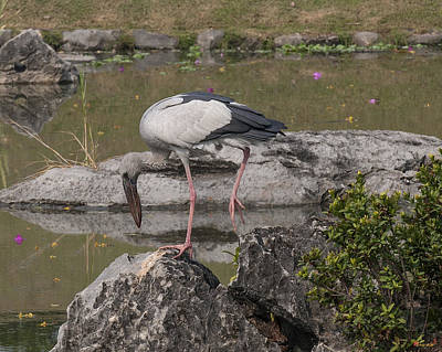 Photograph - Asian Openbill Stork Dthn0156 by Gerry Gantt