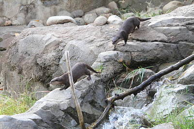 Asian Small Clawed Otter - National Zoo - 01133 Art Print by DC Photographer