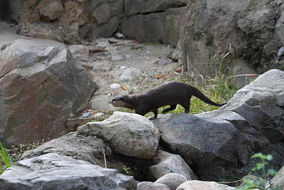 Otter Photograph - Asian Small Clawed Otter - National Zoo - 01134 by DC Photographer