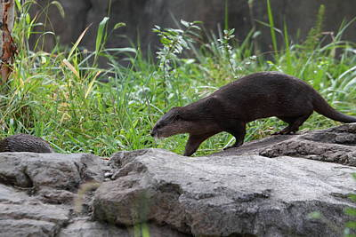 Asian Small Clawed Otter - National Zoo - 01135 Art Print by DC Photographer