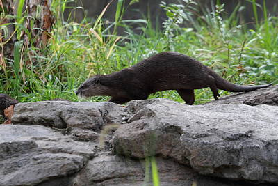 Asian Small Clawed Otter - National Zoo - 01136 Art Print