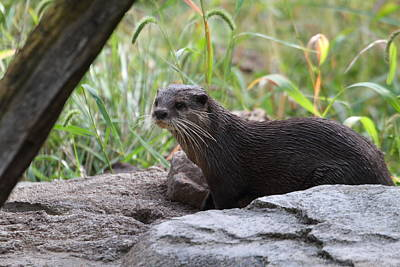 Asian Small Clawed Otter - National Zoo - 01137 Art Print