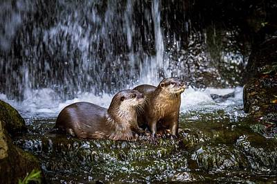 Asian Small-clawed Otters Print by Paul Williams